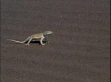 กิ้งก่า กับ งู ในทะเลทรายแห่งหนึ่ง