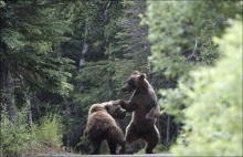 เมื่อหมีตบกัน จะเป็นอย่างไร