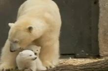 ความน่ารัก แฝดหมีขั้วโลก