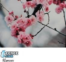 ชมดอก...ซากุระ