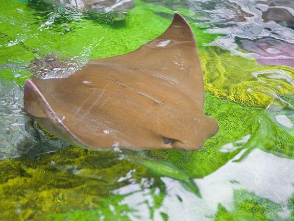 มาดูปลากระเบน บินเล่นน้ำ @nationalgeographic