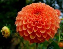 ดอกรักเร่ 3 (Dahlia)