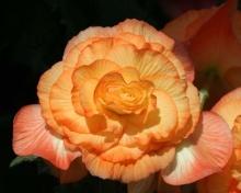 ดอกเบโกเนีย (Begonia) # 1
