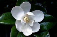 ดอกแมกโนเลีย