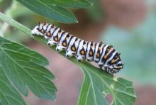 บุ้งหรือหนอนผีเสื้อ ( Caterpillar )