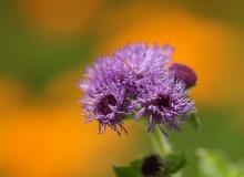 Fleur de violette ‧:﹎。‧::‧ (^∇^) 2