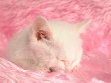 Persian Cat  ‧:﹎。‧::‧ (^∇^)