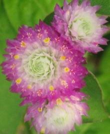 ดอกบานไม่รู้โรย (Globe Amaranth)