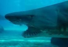 มาดู ขากรรไกรฉลามกันว่ากว้างแค่ไหน!??