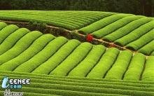 ชาเขียว ทุ่งญ้าก๊เขียว