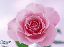 Rose.......Show