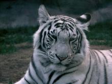 ส..เสือขาว