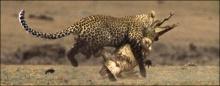 เสือดาว VS  ตะเข้