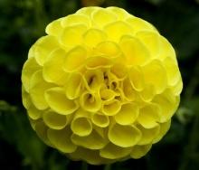ดอกรักเร่ 1 (Dahlia)