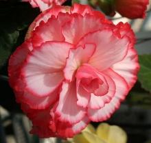 ดอกเบโกเนีย (Begonia) # 2