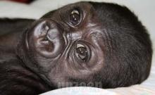 Gorilla Cub..น่ารักดีค่ะ!! (1)