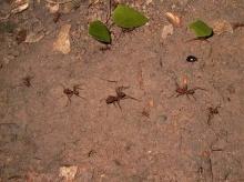 มดหลากหลายสายพันธุ์... ( Ants )