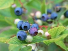ไปเก็บ Blueberry ในสวนกันค่ะ ‧:﹎。‧::‧ (^∇^)