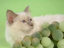 Persian Cat  ‧:﹎。‧::‧ (^∇^) 2