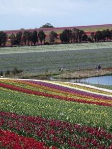 ~~ Tulip ~~