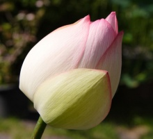 ดอกบัว งดงามบริสุทธิ์....สำหรับคนเกิดวันพุธ