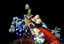 ..กุ้งการ์ตูน (Herlequin Shrimp)..