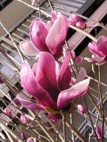 ดอกแม็กโนเลีย (Magnolia) - สัญลักษณ์ของเพศหญิง