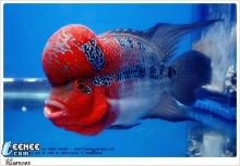 ปลาหมอสี สวยๆ ขอบคุณรูปสวยๆจาก cm108.com