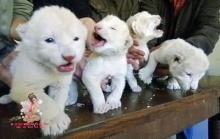 หาดูยาก..ลูกสิงโตสีขาวล้วน!!