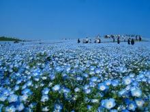 ภูเขาดอกไม้สีฟ้าใส!!