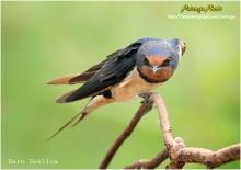 นกนางแอ่นสวยๆ