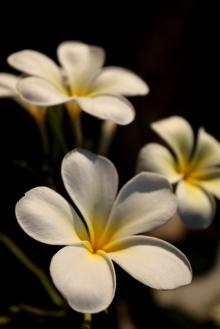 ดอกไม้แห่งรัก...ในสยามอุษาประเทศ
