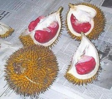 Red Durian - from the Jungle of Borneo