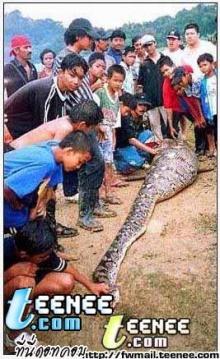 งูกินคน