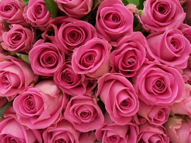 กุหลาบสีชมพู หมายถึง ความรักที่มีความสุขอย่างสมบูรณ์