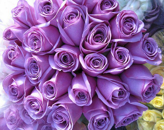 กุหลาบสีม่วง หมายถึง รักแรกพบ