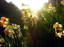 ดอกจุ๊ยเซียน...Narcissus...