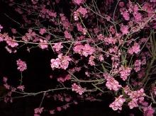 เชิญแวะชม.. ดอกอุเมะ (PLUM)....