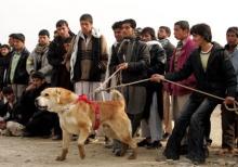 บ้านเรามีไก่ชน แต่ที่ Afghanistan เขามีหมาชน