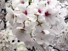 มาดู ดอกซากุระบานที่ญี่ปุ่น สวยมาก