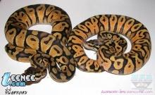 งูหลากสีสัน