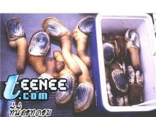 มาดูหอยจู๋ Geoduck ( 1 )