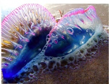 Beach Bluebottle  &   Glaucus