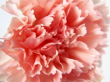 Carnation....