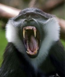ลิงหาว............ฯ