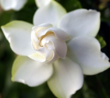 ดอกพุดซ้อน (Gardenia)