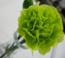 ดอกคาร์เนชั่น (Carnation)