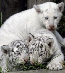 เสือขาวตัวน้อยแห่งอาร์เจนติน่า!?