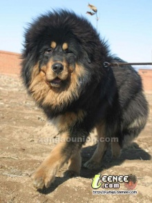 ไม่รู้ว่าจะเรียก หมาหรือสิงโต