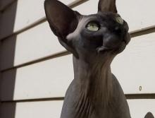 แมวประหลาด